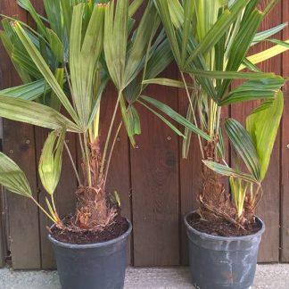 Rhapidophyllum hystrix (-28˚C)
