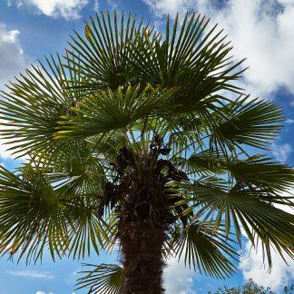 Trachycarpus fortunei (-17˚C)