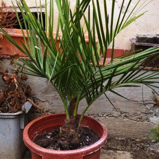 Jubaea Chilensis (-19˚C)
