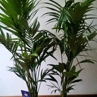 Interiérové palmy