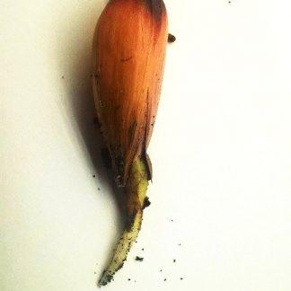 Semená