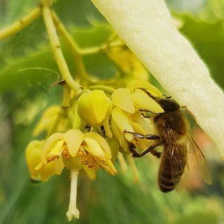 Včelárske dreviny